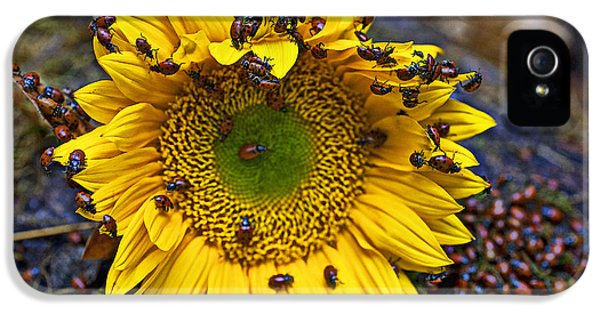 Ladybug iPhone 5 Case - Sunflower Covered In Ladybugs by Garry Gay
