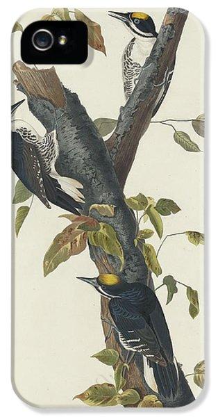 Three-toed Woodpecker IPhone 5 / 5s Case by Anton Oreshkin