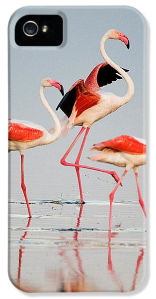 Greater Flamingos Phoenicopterus Roseus IPhone 5 Case by Panoramic Images