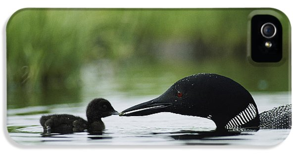 Loon iPhone 5 Case - Loons by Michael S Quinton