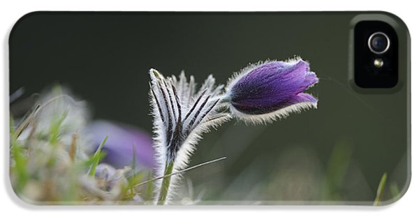 Pasque Flower IPhone 5 Case by David & Micha Sheldon