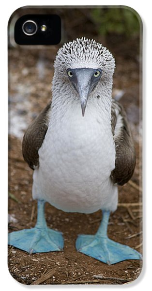 A Blue Footed Booby Looks At The Camera IPhone 5 Case