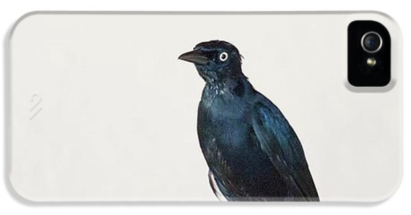 iPhone 5 Case - A Carib Grackle (quiscalus Lugubris) On by John Edwards