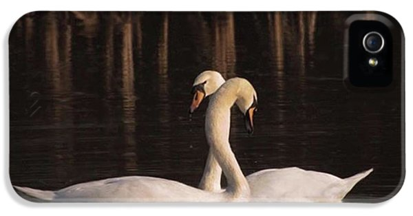iPhone 5 Case - A Painting Of A Pair Of Mute Swans by John Edwards