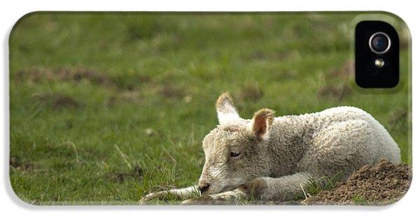 Sheep iPhone 5 Case - Afternoon Nap by Angel Ciesniarska