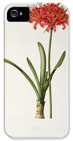 Amaryllis Curvifolia IPhone 5 Case by Pierre Redoute