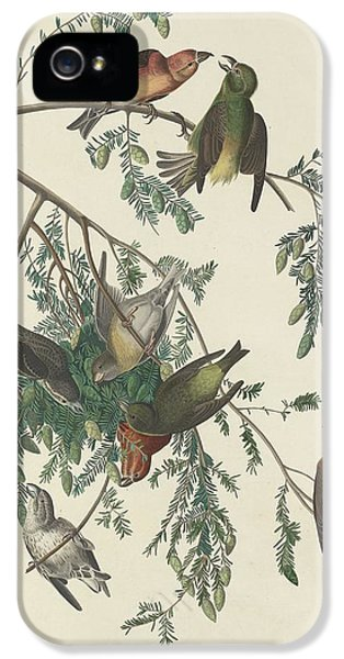 American Crossbill IPhone 5 Case by Rob Dreyer