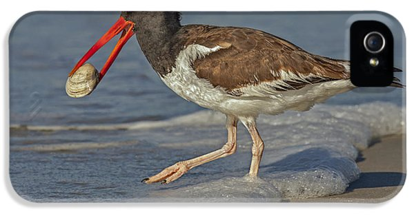 American Oystercatcher Grabs Breakfast IPhone 5 Case by Susan Candelario