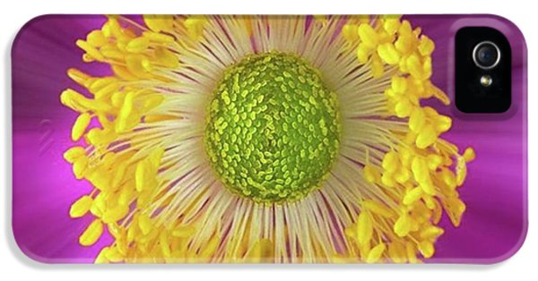 Anemone Hupehensis 'hadspen IPhone 5 Case by John Edwards