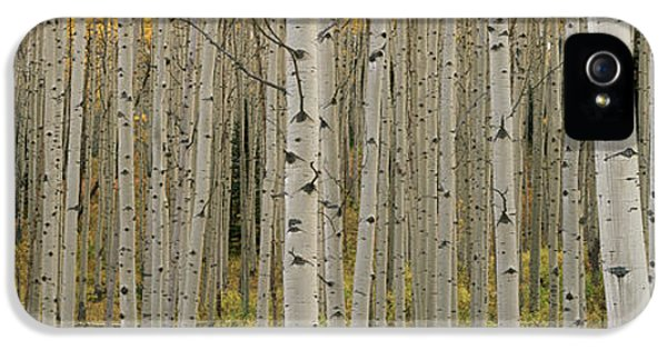 Colour Image iPhone 5 Cases - Aspen Grove In Fall, Kebler Pass iPhone 5 Case by Ron Watts