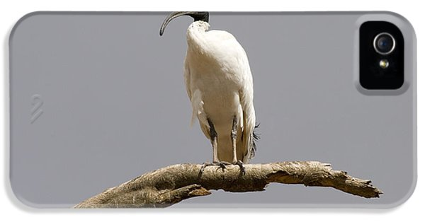 Ibis iPhone 5 Case - Australian White Ibis Perched by Mike  Dawson
