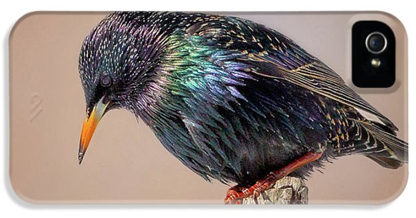 Backyard Birds European Starling Square IPhone 5 Case by Bill Wakeley