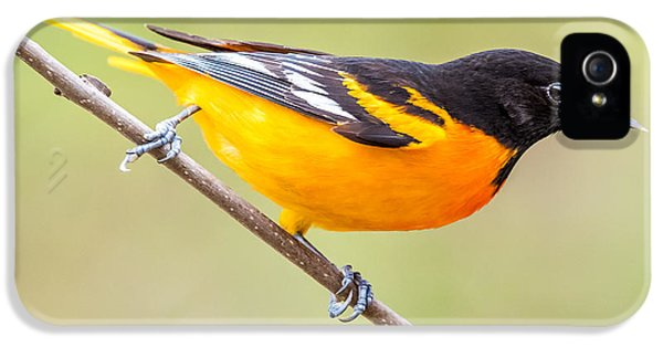 Baltimore Oriole IPhone 5 Case by Paul Freidlund