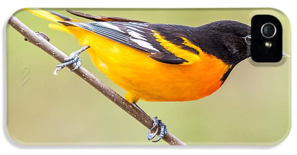 Baltimore Oriole IPhone 5 / 5s Case by Paul Freidlund