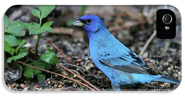 Beautiful Indigo Bunting IPhone 5 / 5s Case by Sabrina L Ryan
