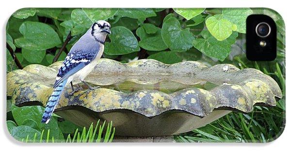Blue Jay At The Birdbath IPhone 5 Case by Richard Rizzo