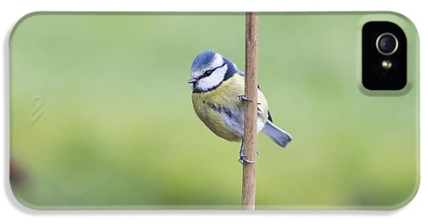 Titmouse iPhone 5 Case - Blue Tit On A Garden Cane by Tim Gainey