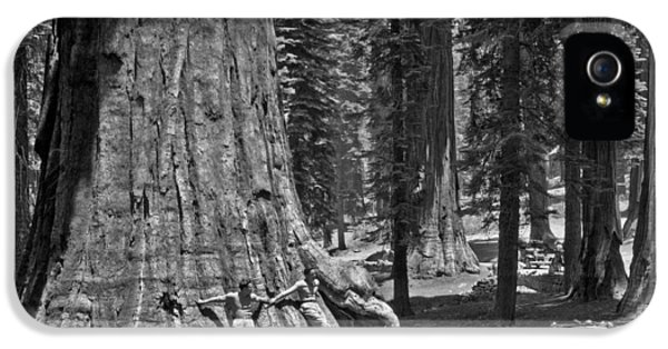 California Sequoia Tree IPhone 5 Case by Underwood Archives