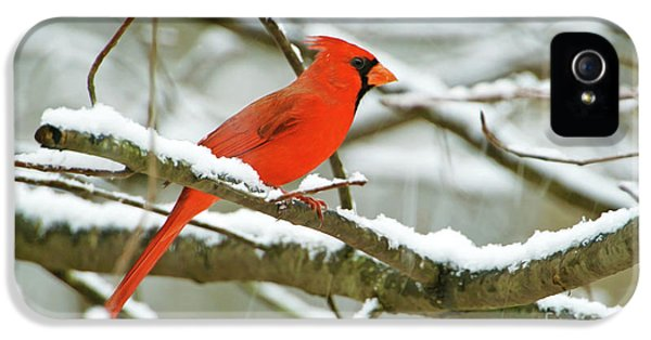 Finch iPhone 5 Case - Cardinal In Snow by Laura D Young