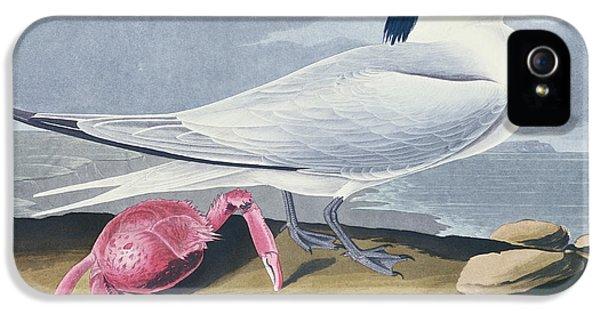 Crustacean iPhone 5 Cases - Cayenne Tern iPhone 5 Case by John James Audubon