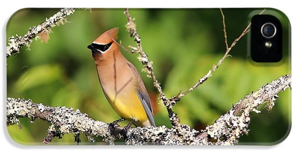 Cedar Waxwing  IPhone 5 / 5s Case by Carol R Montoya
