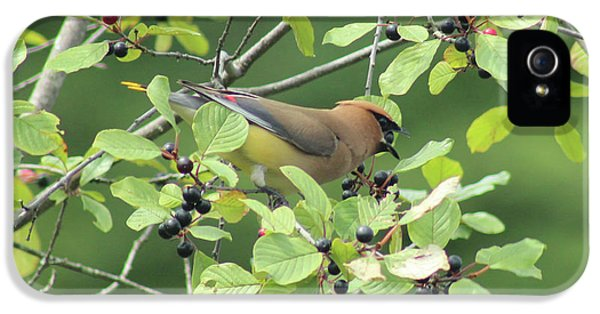 Cedar Waxwing Eating Berries IPhone 5 Case by Maili Page