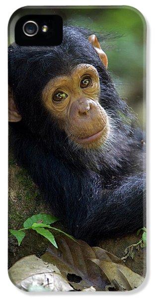 Chimpanzee Pan Troglodytes Baby Leaning IPhone 5 Case