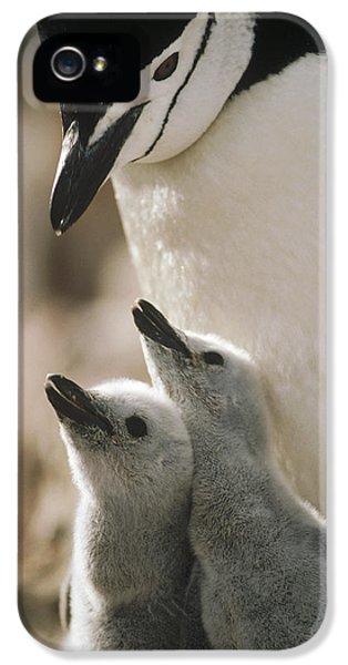 Chinstrap Penguin Pygoscelis Antarctica IPhone 5 / 5s Case by Tui De Roy