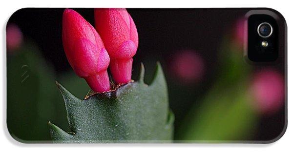 Christmas Cactus Double Joy IPhone 5 Case by Rona Black