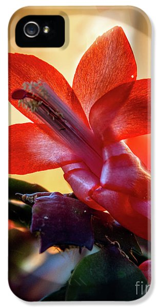 Christmas Cactus Flower IPhone 5 Case by Robert Bales