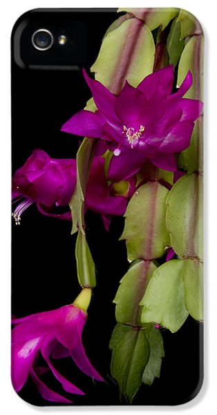 Christmas Cactus Purple Flower Blooms IPhone 5 Case by James BO  Insogna