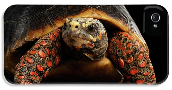 Close-up Of Red-footed Tortoises, Chelonoidis Carbonaria, Isolated Black Background IPhone 5 Case