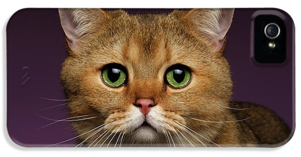 Closeup Golden British Cat With  Green Eyes On Purple  IPhone 5 Case by Sergey Taran