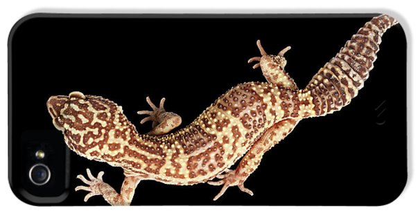 Closeup Leopard Gecko Eublepharis Macularius Isolated On Black Background IPhone 5 Case by Sergey Taran