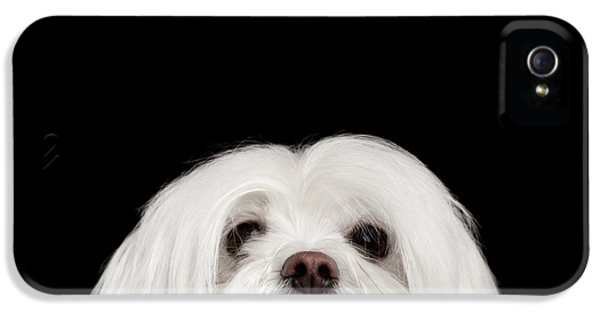 Closeup Nosey White Maltese Dog Looking In Camera Isolated On Black Background IPhone 5 Case