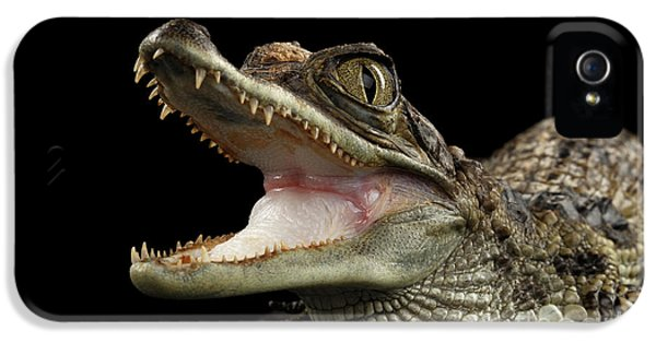 Closeup Young Cayman Crocodile, Reptile With Opened Mouth Isolated On Black Background IPhone 5 Case