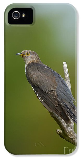 Common Cuckoo IPhone 5 Case by Steen Drozd Lund