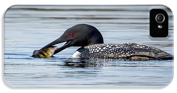 Common Loon Square IPhone 5 Case by Bill Wakeley