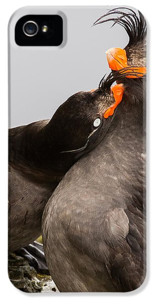 Crested Auklets IPhone 5 Case by Sunil Gopalan
