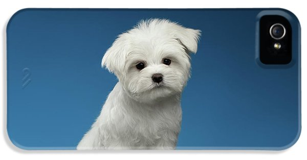Cute Pure White Maltese Puppy Standing And Curiously Looking In Camera Isolated On Blue Background IPhone 5 Case by Sergey Taran