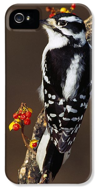 Downy Woodpecker On Tree Branch IPhone 5 / 5s Case by Panoramic Images
