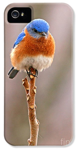 Bluebird iPhone 5 Case - Eastern Bluebird Treetop Perch by Max Allen