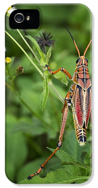 Eastern Lubber Grasshopper  IPhone 5 / 5s Case by Saija  Lehtonen