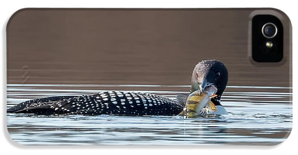 Feeding Common Loon Square IPhone 5 Case by Bill Wakeley