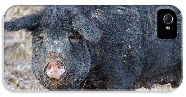IPhone 5 Case featuring the photograph Female Hog by James BO Insogna