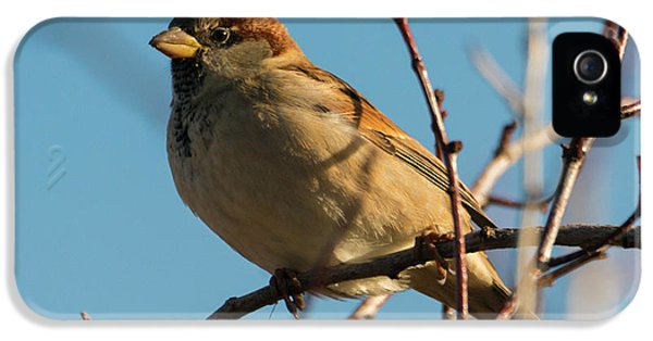 Female House Sparrow IPhone 5 Case
