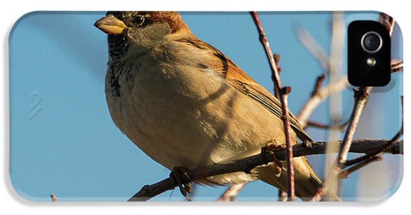 Female House Sparrow IPhone 5 Case by Mike Dawson
