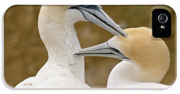 IPhone 5 Case featuring the photograph Gannet Pair 1 by Werner Padarin