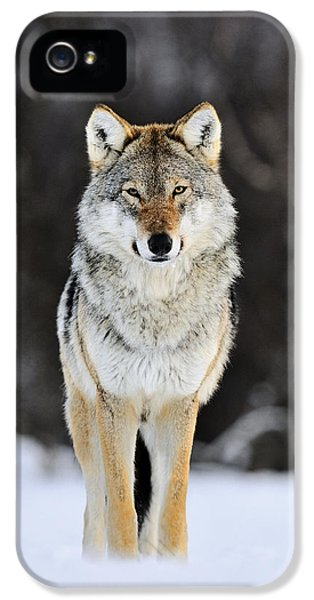 Wolf iPhone 5 Case - Gray Wolf In The Snow by Jasper Doest