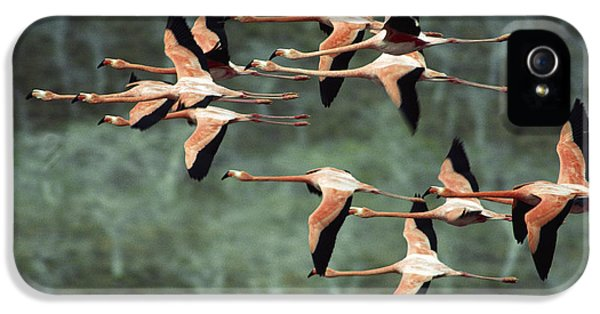 Flamingo iPhone 5 Cases - Greater Flamingo Phoenicopterus Ruber iPhone 5 Case by Tui De Roy